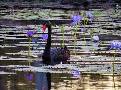Girl Wall Art - Photograph - Black Swan On Lake by Joan Stratton