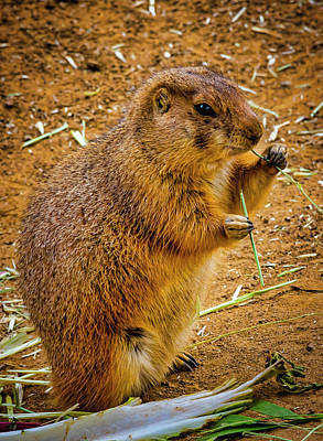 Photograph - Black Tailed Prairie Dog by Garry Gay