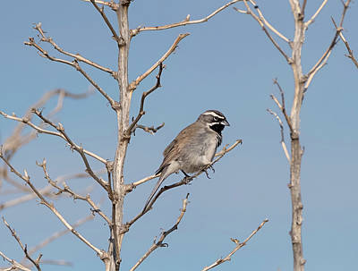 Photograph - Black Throated Sparrow by Loree Johnson