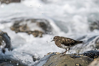 Photograph - Black Turnstone And Surf by Robert Potts