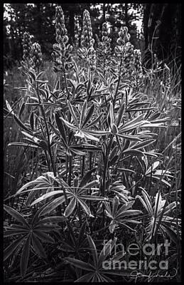 Photograph - Black  White Lupines by Jennifer Lake
