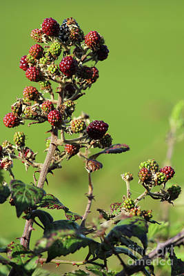 Pop Art - Blackberries Inch Island Donegal by Eddie Barron