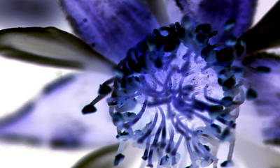 Digital Art - Blackberry Blossom In Blue Negative by Ajp