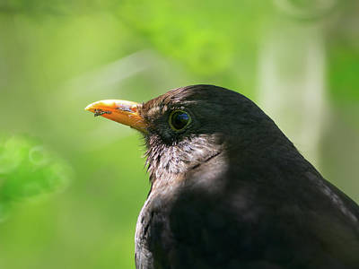 Photograph - Blackbird In Dappled Shade by James Lamb