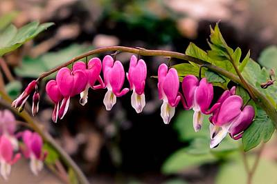 Photograph - Bleeding Hearts II by Susan Rydberg