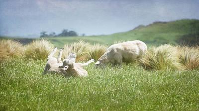 Photograph - Blissfully Happy New Zealand Sheep by Joan Carroll