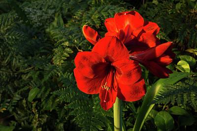Photograph - Blooming Jewel - Christmas Red Amaryllis Flowers by Georgia Mizuleva