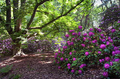 Photograph - Blooming Rhododendron And Old Chestnut Tree by Jenny Rainbow