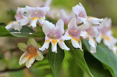 Photograph - Blossom Of Dipelta Floribunda by Jenny Rainbow