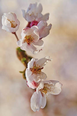 Photograph - Blossoms by Greg David