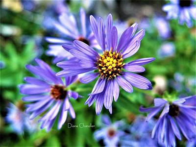 Photograph - Blue Aster by Diane Chandler
