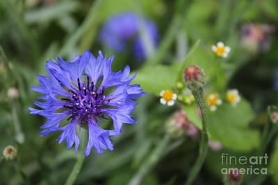 Photograph - Blue Bachelor Button by Julie Kindt