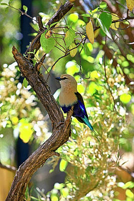Photograph - Blue-bellied Roller Bird by Chris Smith