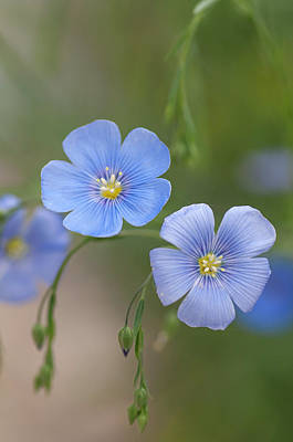 Photograph - Blue Blooms Of Flax 2 by Jenny Rainbow