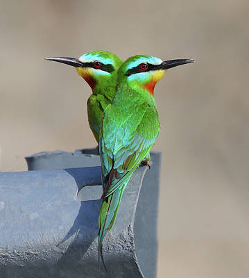 Blue Photograph - Blue-cheeked Bee-eater by Zahoor Salmi