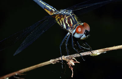 Photograph - Blue Dasher by Larah McElroy