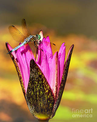Photograph - Angelic Blue Dragonfly And The Pink Water Lily by Sabrina L Ryan