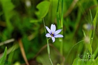 Photograph - Blue Eyed Grass by Ann E Robson