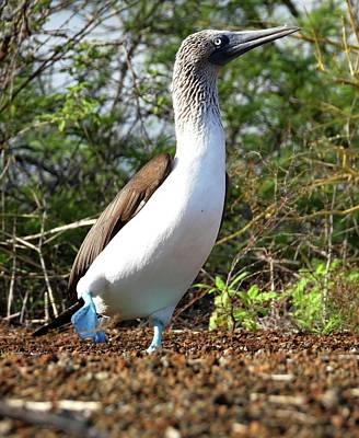 Animals Royalty-Free and Rights-Managed Images - Blue Footed Booby by Jennifer Wheatley Wolf