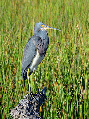 Photograph - Blue Heron At Attention by Bruce Gourley