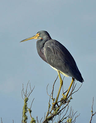 Photograph - Blue Heron Atop A Branch by Bruce Gourley