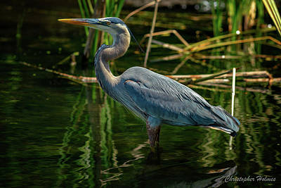 Photograph - Blue Heron by Christopher Holmes