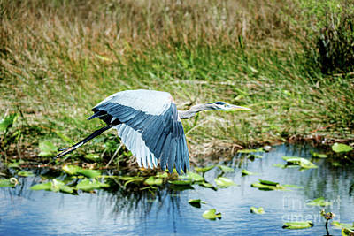 Photograph - Blue Heron Flight by Ed Taylor