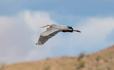 Photograph - Blue Heron In Flight by Loree Johnson