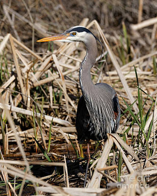 Photograph - Blue Heron In The Marsh by Sue Harper