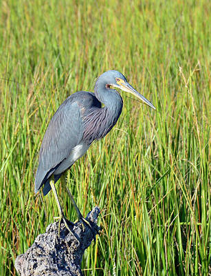 Photograph - Blue Heron On The Lookout by Bruce Gourley