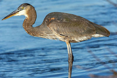 Photograph - Blue Heron On The Shore by Jack Peterson