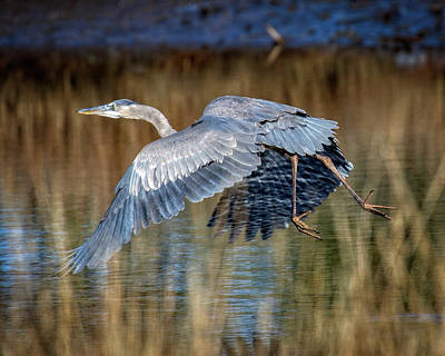 Photograph - Blue Heron On Water by Alan Raasch