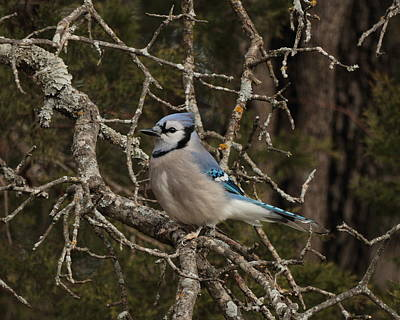 Photograph - Blue Jay 5215 by John Moyer