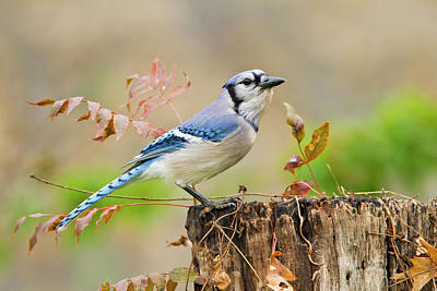 Blue Photograph - Blue Jay Cyanocitta Cristata Adult by Danita Delimont
