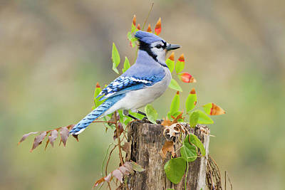 Blue Photograph - Blue Jay Cyanocitta Cristata Adults On by Danita Delimont
