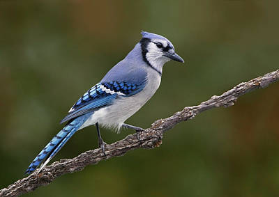 Blue Photograph - Blue Jay, Cyanocitta Cristata by Jim Crosswell