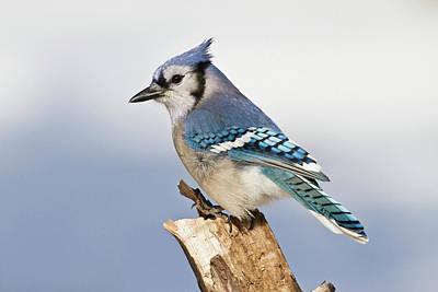 Blue Photograph - Blue Jay Cyanocitta Cristata Perching by Danita Delimont