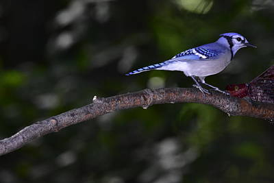 Photograph - Blue Jay by Jeffrey PERKINS