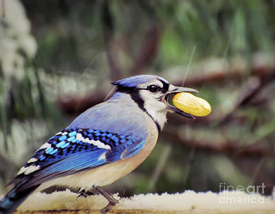 Photograph - Blue Jay With A Peanut by Kerri Farley