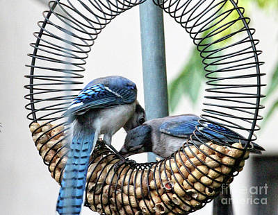 Photograph - Blue Jays Wooing 1 by Patricia Youngquist