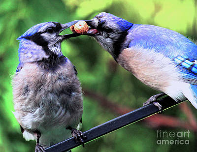 Photograph - Blue Jays Wooing 2 by Patricia Youngquist