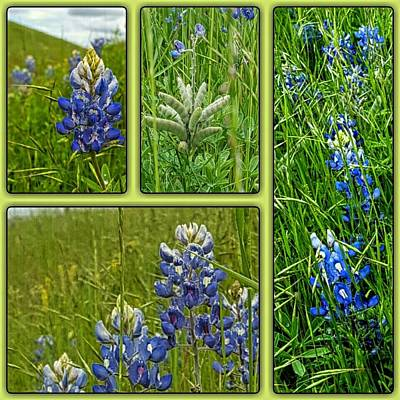 Blue Lupines Are Texan Bluebonnets Original