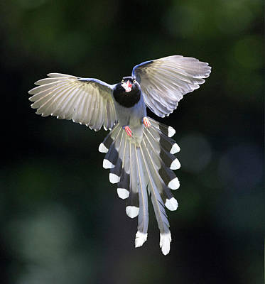 Flying Photograph - Blue Magpie Flying by Richard Mcmanus