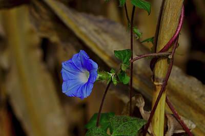 Photograph - Blue Morning Glory by Brad Chambers
