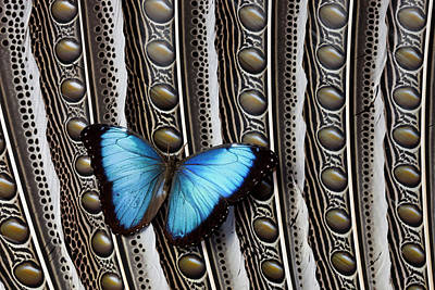 Insect Photograph - Blue Morpho Butterfly On Feather Argus by Danita Delimont