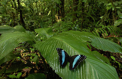 Photograph - Blue Morpho Morpho Achilles Butterfly by Pete Oxford/ Minden Pictures