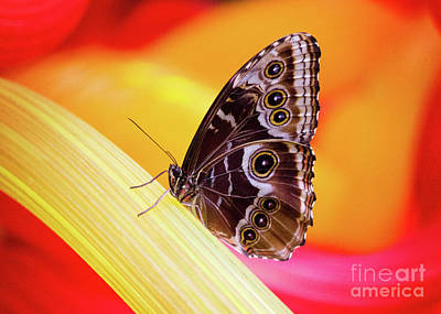 Photograph - Blue Morpho Red And Yellow by Sharon McConnell