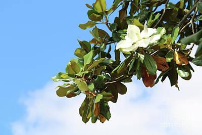 Photograph - Blue Sky Magnolia by Carol Groenen