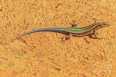 Photograph - Blue Tailed Sandveld Lizard by Benny Marty