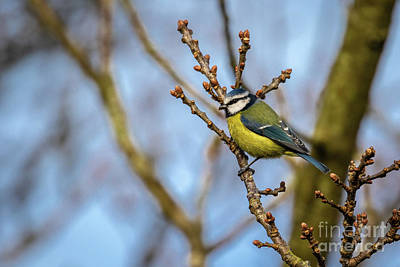 Photograph - Blue Tit 02 by Brian Roscorla